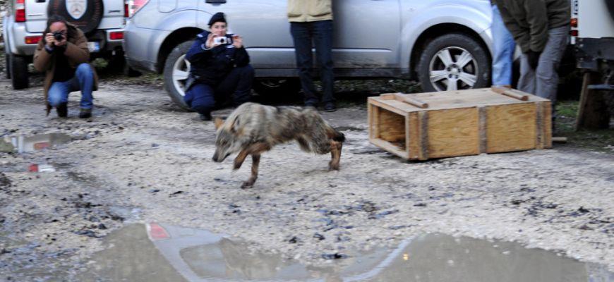 Wwf Abruzzo: Il lupo è tuttora un animale minacciato e non una minaccia