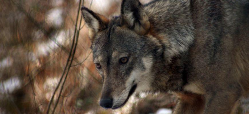 Tutela lupo, la Regione risponde