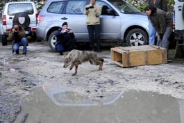Il WWF lancia l'SOS LUPO. Anche in Abruzzo