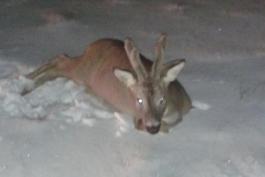Altro che Bambi, quando la realtà supera la fantasia