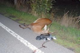 Investito da un'auto, cervo muore sul colpo
