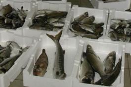 Sicurezza alimentare: pesce sequestrato da Forestale