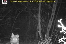 Sos lupo in Abruzzo, Il Wwf spiega come risolvere la situazione